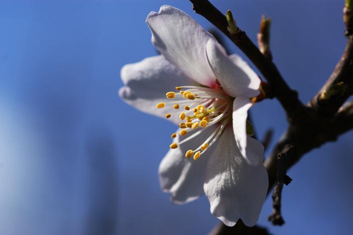 アーモンドの花.jpg